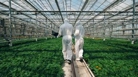 Zwei Botaniker gehen nahe wachsenden Anlagen in einem Glashaus und überprüfen sie stock video
