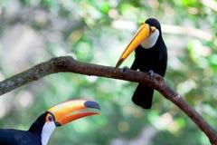 Zwei Brasilien Tukan Stockfoto