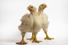 Zwei Brathühnchen 21 Tage alt auf Weiß stockfoto