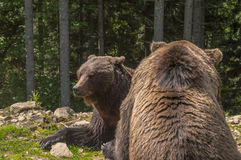 Zwei Braunbären im Wald Lizenzfreies Stockfoto