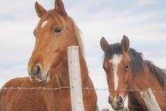Zwei braune Bauernhofpferde Lizenzfreie Stockfotos