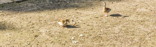 Zwei braune Enten in der Sandfahne Lizenzfreies Stockfoto