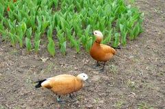 Zwei braune Enten mit Hirsekorn Stockbild