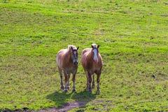 Zwei braune Entwurfspferde auf Ackerland Stockfotografie