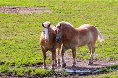 Zwei braune Entwurfspferde auf Ackerland Lizenzfreies Stockfoto