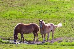 Zwei braune Entwurfspferde auf Ackerland Stockfotos