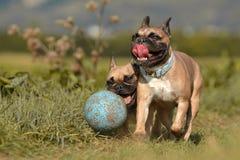 Zwei braune französische Bulldoggen, die Spaß haben und mit einem großen schlammigen blauen Ballhundespielzeug umgeben durch grün stockfoto