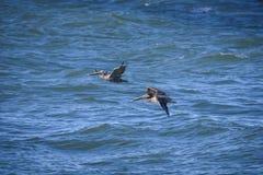 Zwei braune Pelikane lizenzfreie stockfotografie