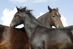 Zwei braune Pferde Stockfoto