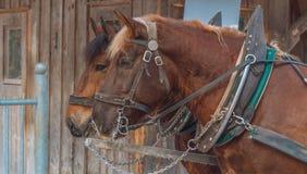 Zwei braune Pferde, die gegen hölzernes schack stehen lizenzfreie stockfotografie