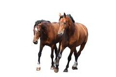 Zwei braune Pferde, die schnell lokalisiert auf Weiß trotten Stockbild