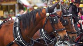 Zwei braune Pferde im Geschirr auf dem Quadrat stock footage