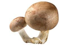 Zwei braune Pilze vervollkommnen lokalisiert auf Weiß Stockbilder
