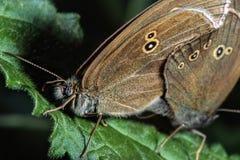 Zwei braune Schmetterlinge auf Blatt stockbilder