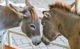 Zwei braune vertrauliche Esel, rührender Hauptkopf scheint, Liebe und Neigung zu zeigen Stockbilder
