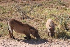 Zwei braune Warzenschweine auf einer Wiese in Addo Elephant Park in Colchester, Südafrika Stockbilder