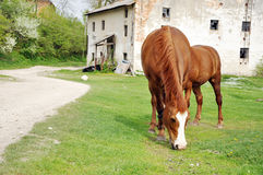 Zwei braune weiden lassende Pferde Lizenzfreie Stockbilder