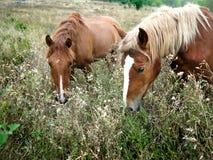 Zwei braune weiden lassende Pferde Stockfotos