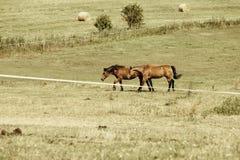 Zwei braune wilde Pferde auf Wiesenfeld Stockfotografie