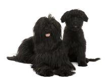 Zwei Briard Hunde, 2 Jahre alt und 13 Wochen alt Stockbilder