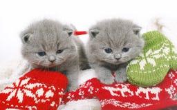 Zwei Briten-Kätzchen mit Handschuhen Stockbild