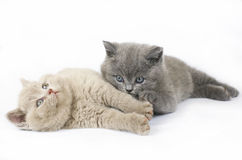 Zwei britische Kätzchen Stockfoto