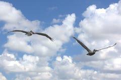 Zwei Brown-Pelikane stockbild
