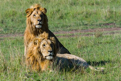 Zwei Bruder Lions In Masai Mara Stockfotos