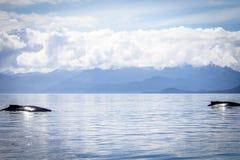 Zwei Buckelwale in Alaska lizenzfreies stockbild