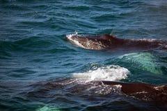 Zwei Buckelwale in Island lizenzfreie stockfotos