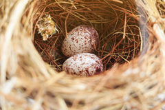 Zwei Bulbuleier im Nest Stockbild