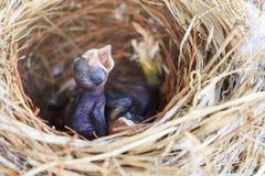 Zwei Bulbulküken im Nest Lizenzfreies Stockbild