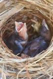 Zwei Bulbulküken im Nest Lizenzfreies Stockfoto