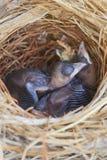 Zwei Bulbulküken im Nest Lizenzfreie Stockfotografie