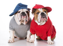 Zwei Bulldoggen stockfotos