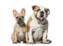 Zwei Bulldoggen, Franzosen und Englisch, sitzend auf weißem Hintergrund lizenzfreies stockfoto