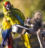 Zwei bunte Papageien, die Lebensmittel teilen Lizenzfreie Stockfotos