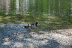 Zwei bunte plantschende Enten, die im See schwimmen lizenzfreie stockfotos