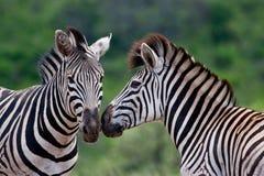 Zwei Burchells Zebra Lizenzfreie Stockfotos