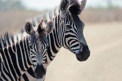 Zwei Burchells Zebra Stockbild