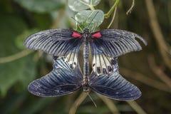 Zwei Buterflies Lizenzfreie Stockfotos