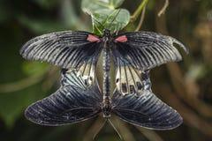 Zwei Buterflies Züchtung Stockfotos