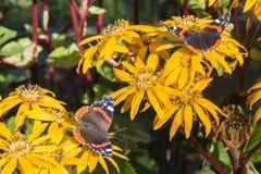 Zwei butterflys auf gelben Blumen stockfotos