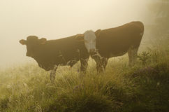 Zwei calfs Stockfotografie