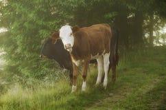 Zwei calfs Lizenzfreie Stockbilder