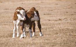 Zwei calfs Stockbilder