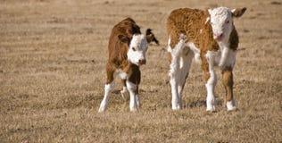 Zwei calfs Lizenzfreies Stockbild