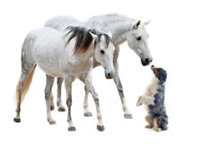 Camargue Pferde und australischer Schäferhund Stockbild
