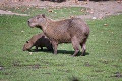 Zwei Capybaras Stockbild