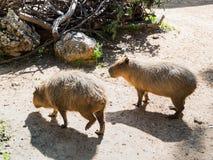 Zwei Capybars - Hydrohoerus-die hydrohoeris - gehen Sie aus den Grund auf der Suche nach Lebensmittel an einem sonnigen Tag Stockfotografie